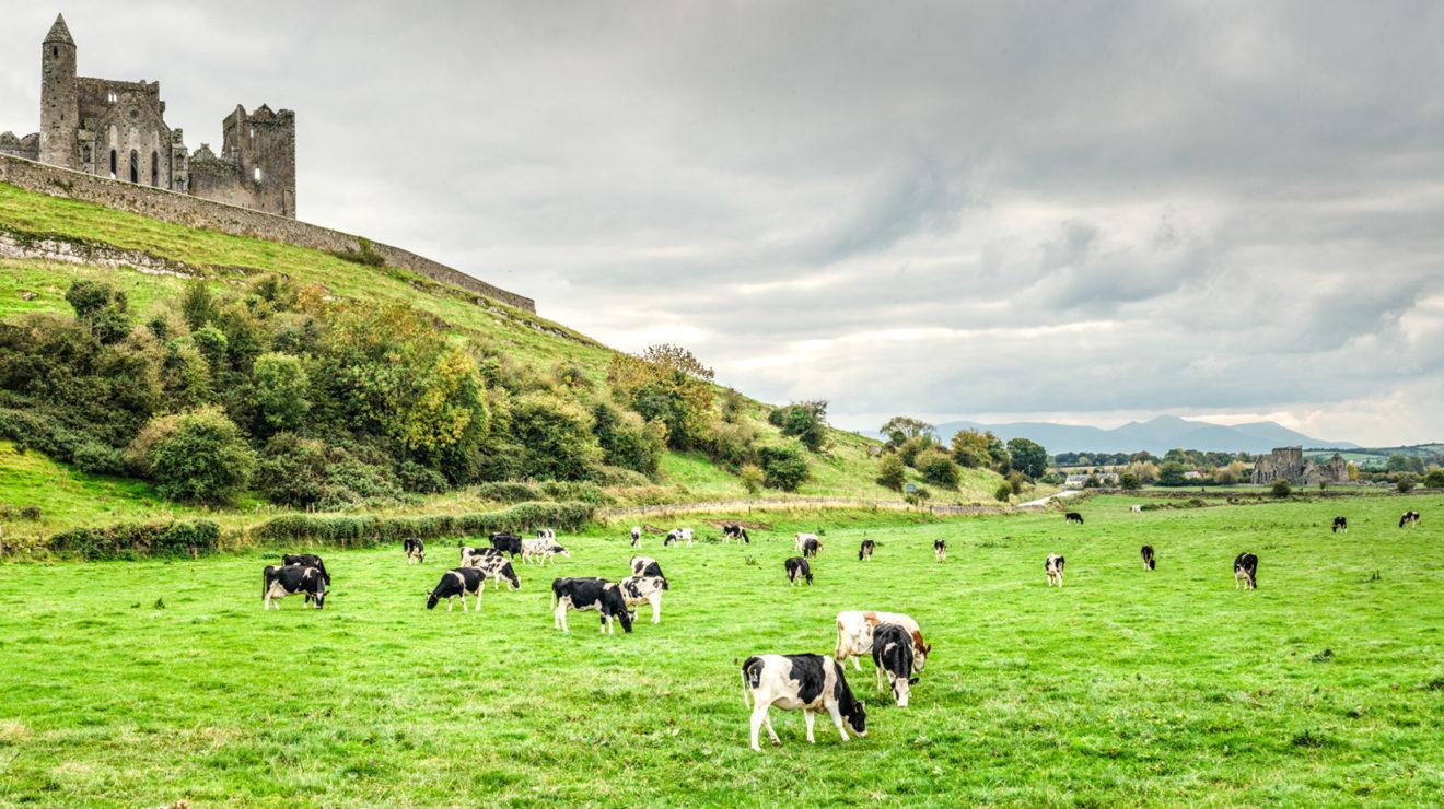 Cows, Ireland