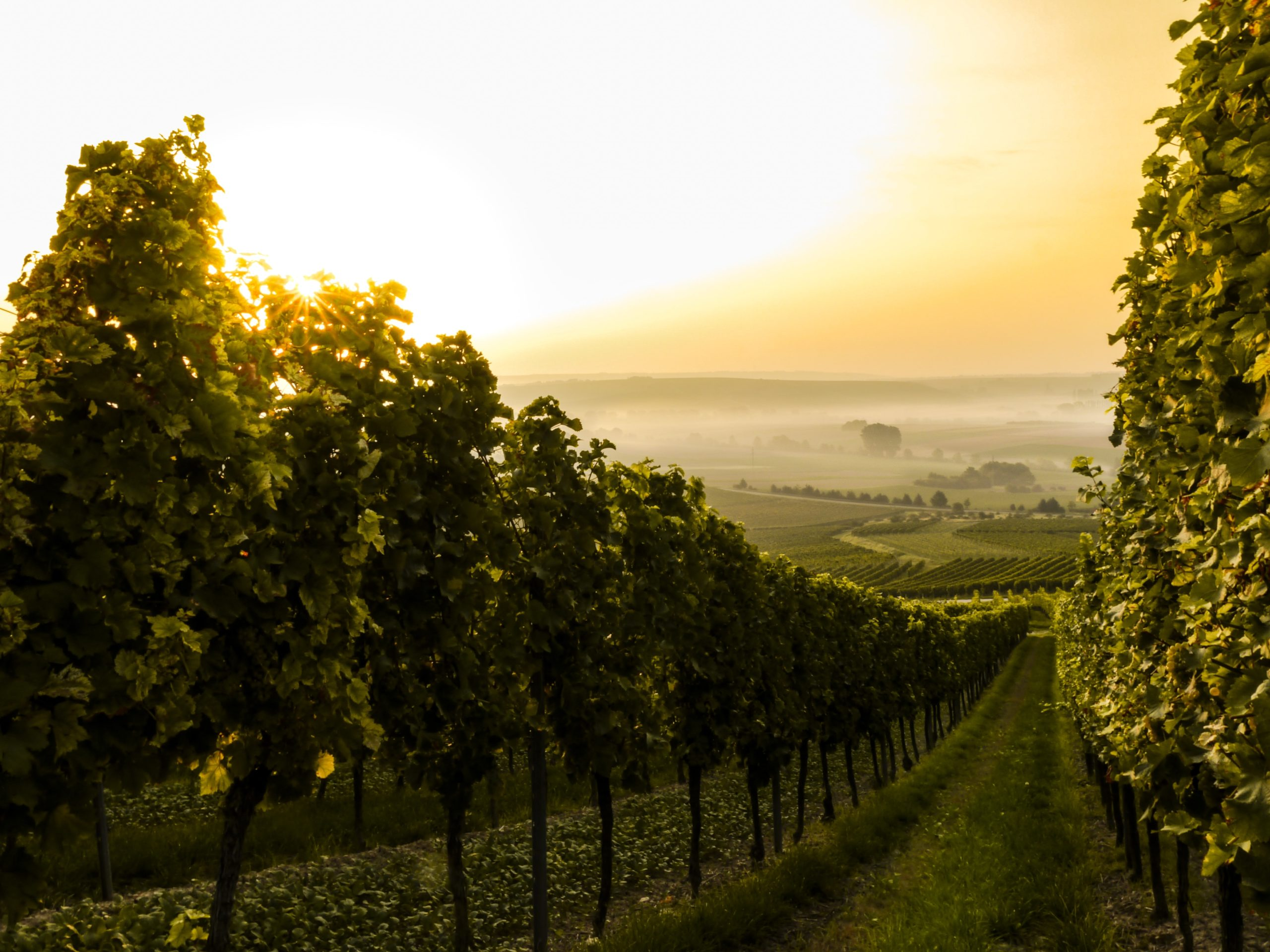 Vineyard New Zealand